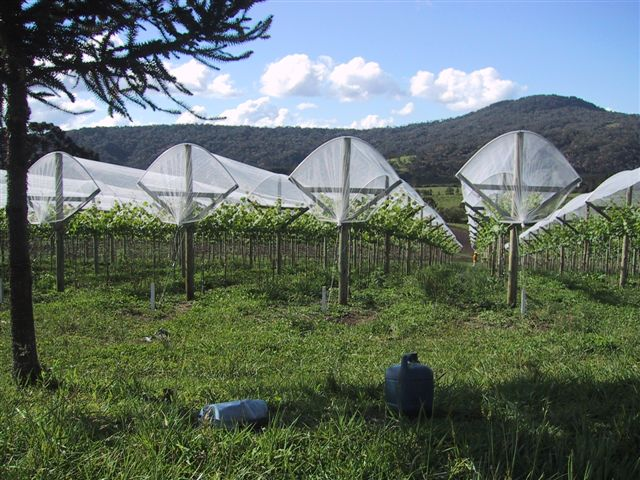 Agricolor-Nácar-uvas-Brasil.1