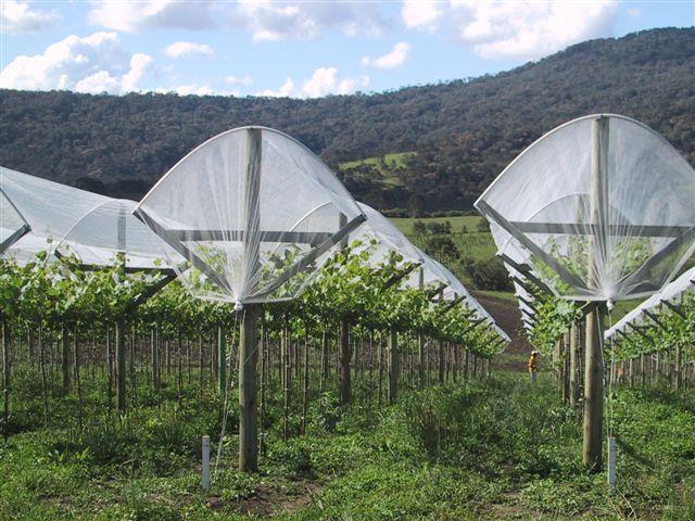 Agricolor-Nácar-uvas-Brasil.2