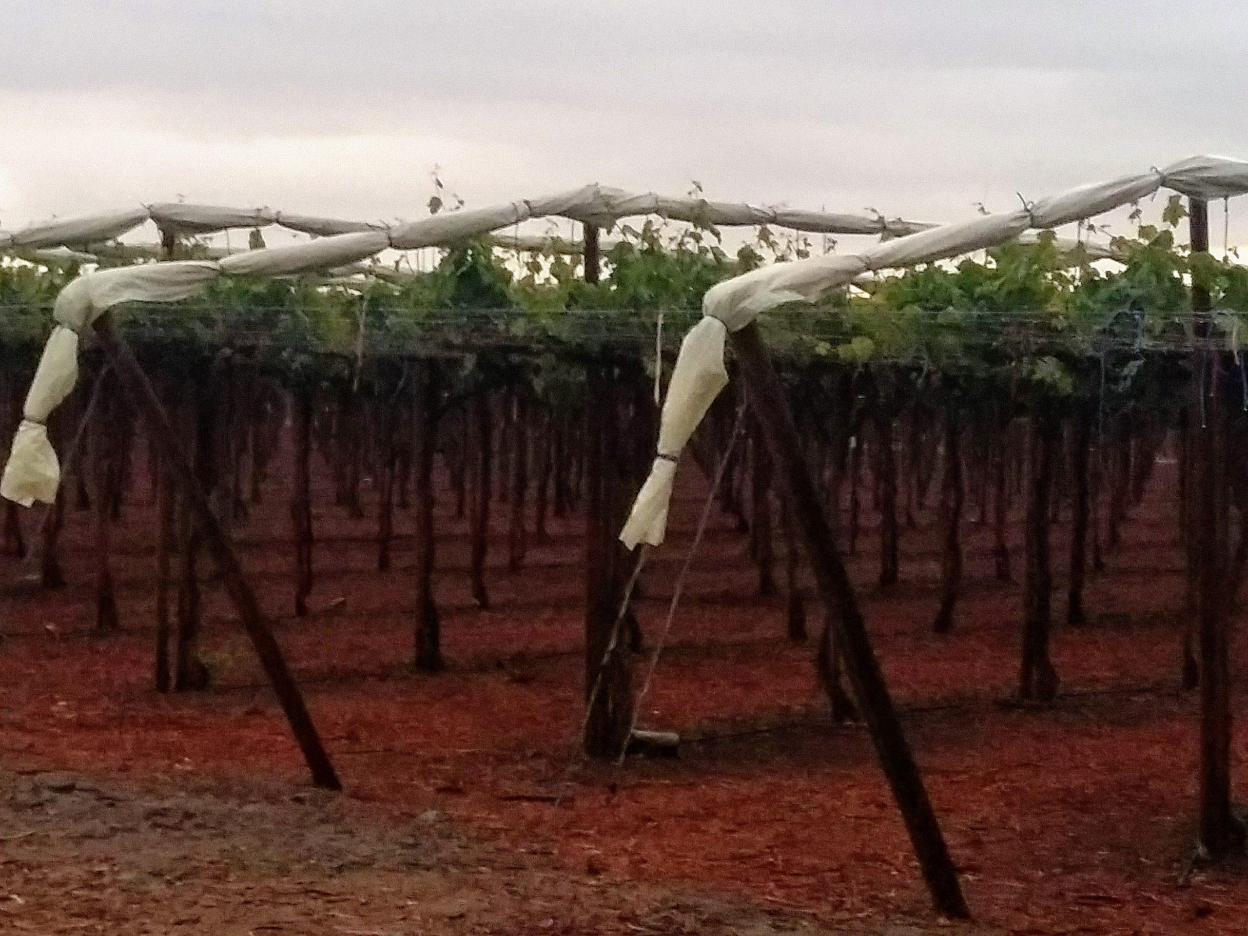 Agricover-PS-en-uvas
